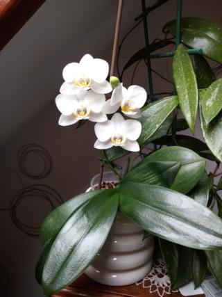 Refloraison maison phalaenopsis blanc Img_2057