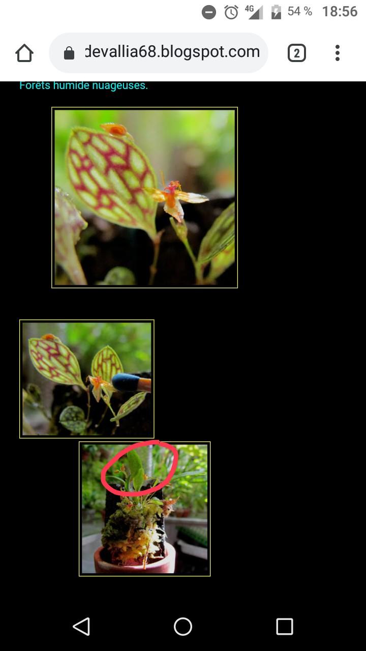 Lepanthes barbelifera Img_2071