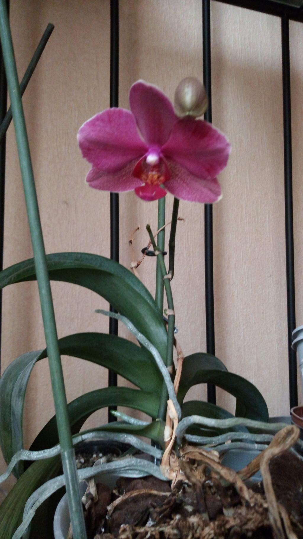 Floraison estivale de phalaenopsis - Page 2 Img_2085