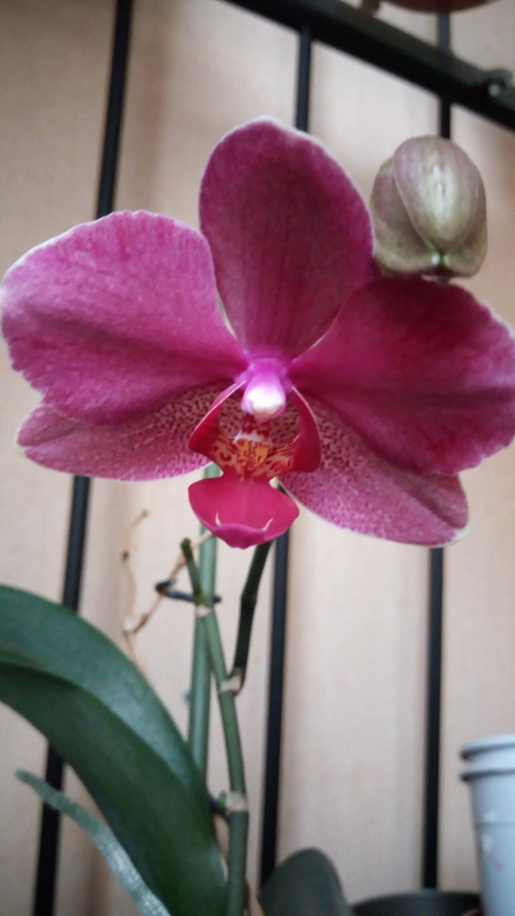 Floraison estivale de phalaenopsis - Page 2 Img_2086