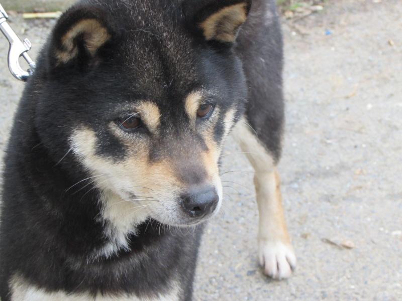 KIBA femelle SHIBA-INU 01418