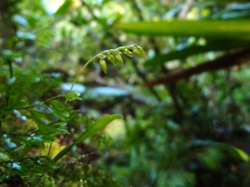 Bulbophyllum intertextum 095110