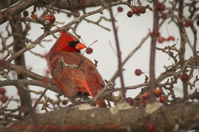 Cardinal rouge Img_2510