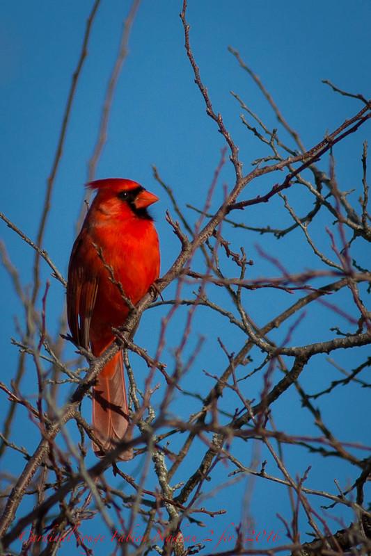 Cardinal Img_3310