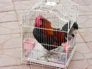 Avril 2015 en Chine (7) : le marché aux oiseaux, l'Islam en Chine, le problème démographique 人口问题 Coq_de10