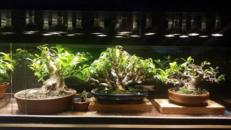 Indoor Bonsai under LED lights. - Page 14 11138410