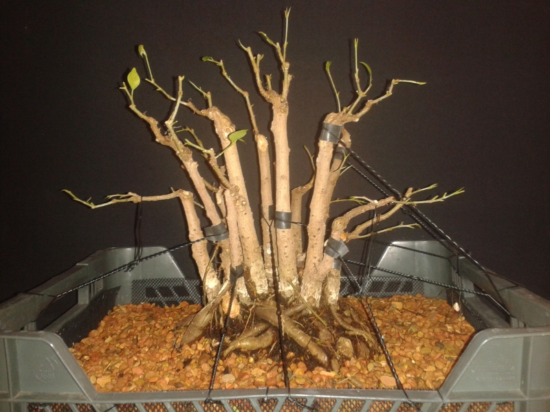 From Trash Room Benjamina to Banyan Bonsai. :) 20160210