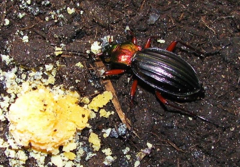 Chrysocarabus auronitens gastronome. Putzey10