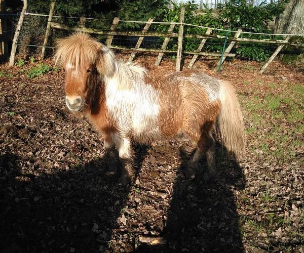 TAGADA - ONC poney typé Shetland né en 2008 - adopté en août 2013 - Page 2 Tagada10