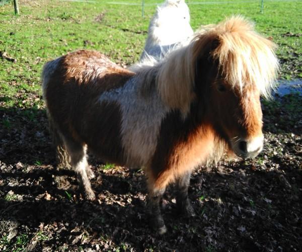 TAGADA - ONC poney typé Shetland né en 2008 - adopté en août 2013 - Page 2 Tagada11