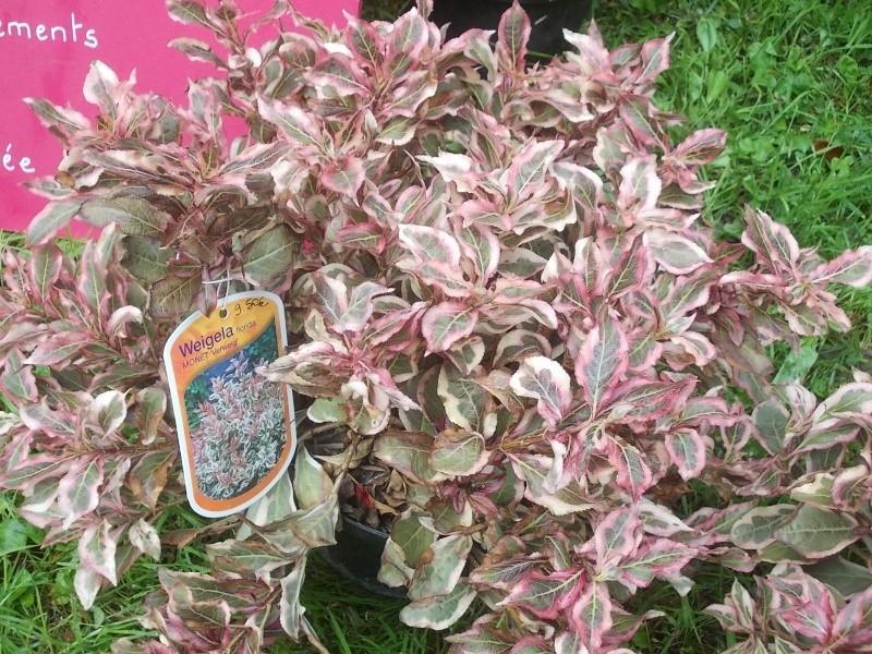 Weigelia florida Monet 'Verweig'  Dscn7213