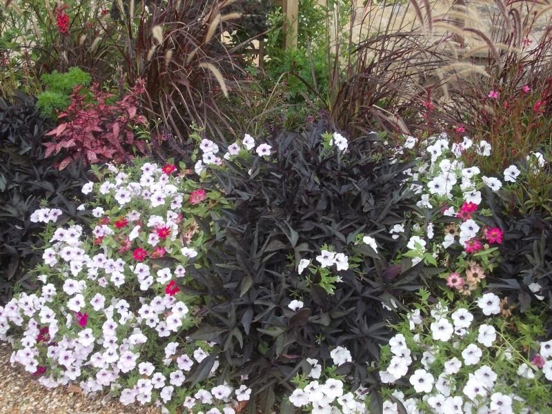 Association de plantes dans vos massifs  - Page 2 Dscn7412