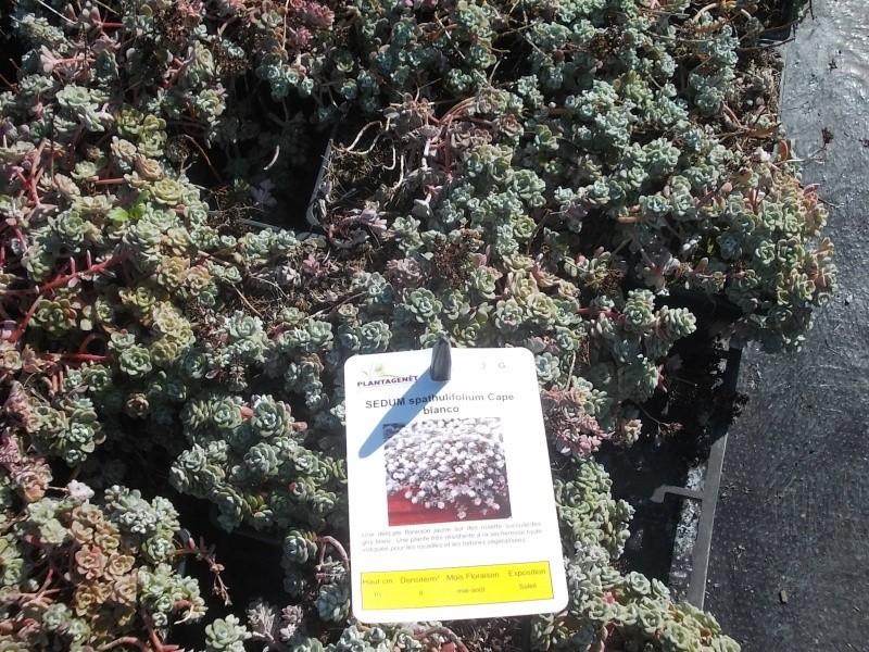 Sedum spathulifolium 'Cape Blanco'  Dscn7811