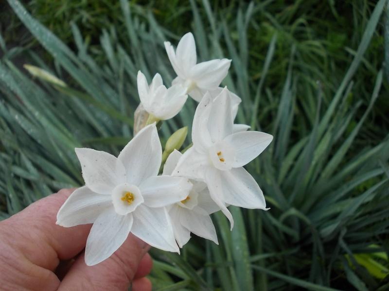 Bulbeuse floraison hivernale : narcisse paperwhite  Dscn8728