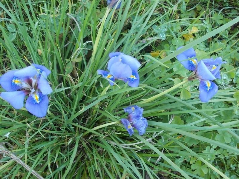 Iris unguicularis ou Iris d'Alger - Page 4 Dscn8845