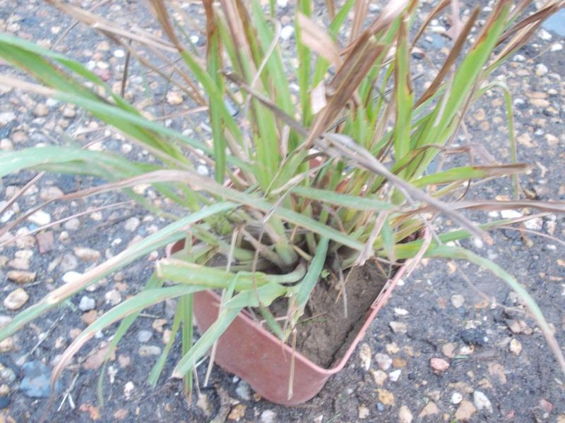 culture de la citronnelle de Madagascar  - Page 2 Dscn9029