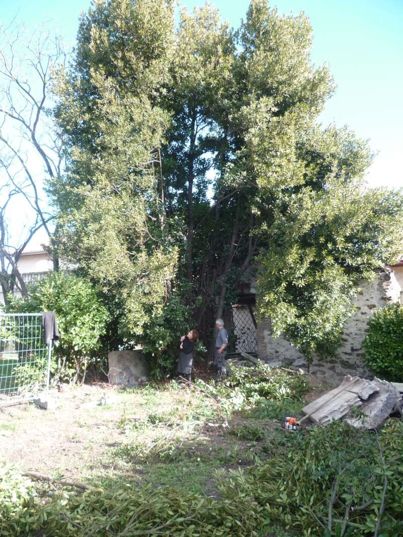 Bois Laurus nobilis quinenveut Laurie14