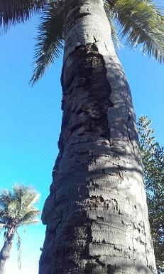 Jubaea chilensis - cocotier du Chili 20151113