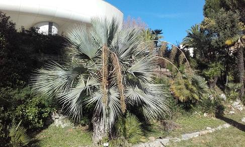 Brahea armata - palmier bleu du Mexique 20151210
