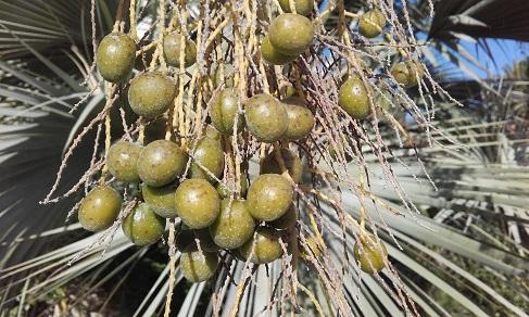 Brahea armata - palmier bleu du Mexique 20151212