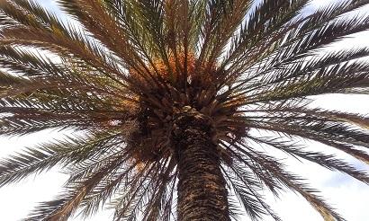 Phoenix dactylifera - palmier dattier 20151224