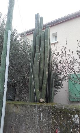 Echinopsis pachanoi - cactus San Pedro 20160112