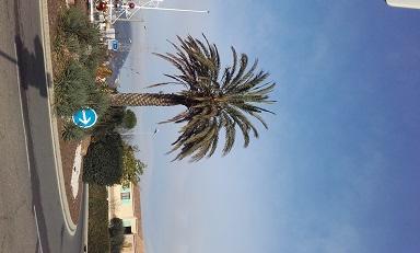 Phoenix dactylifera - palmier dattier 20160116