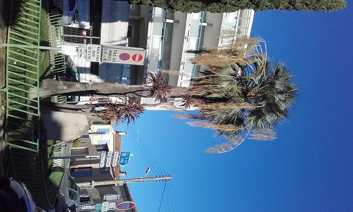 brahea armata - Brahea armata - palmier bleu du Mexique - Page 2 20160118
