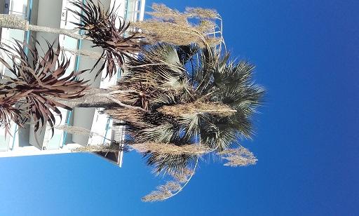 brahea armata - Brahea armata - palmier bleu du Mexique - Page 2 20160119