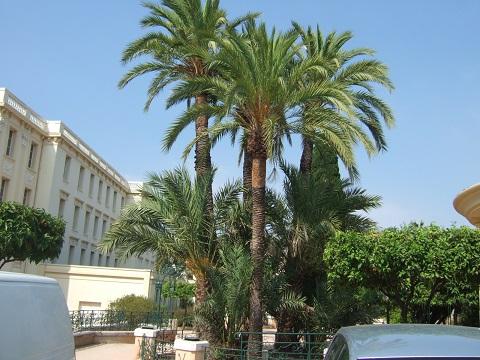 Phoenix dactylifera - palmier dattier Dscf5310