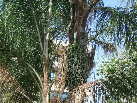 Syagrus romanzoffiana - palmier reine Dscf5312