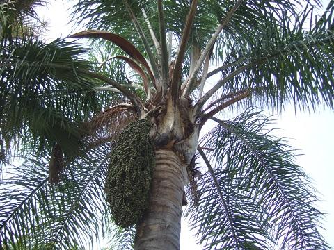 Syagrus romanzoffiana - palmier reine Dscf5313