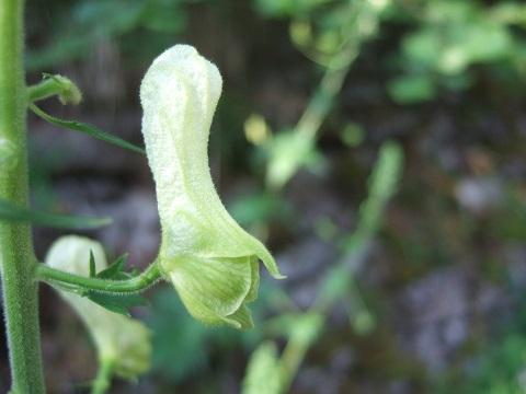 Aconitum lycoctonum subsp. vulparia - aconit tue-loup Dscf5912