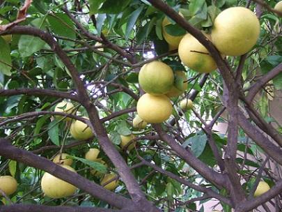 Citrus paradisi - pomélo Dscf8720