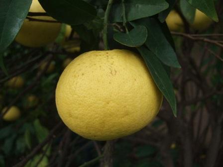 Citrus paradisi - pomélo Dscf8721