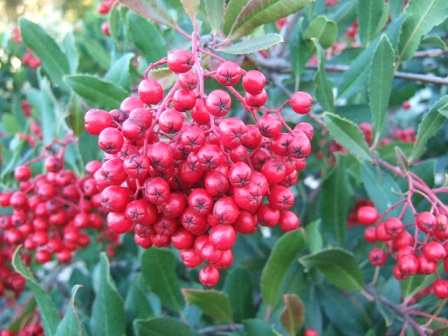 Heteromeles arbutifolia Dscf8811