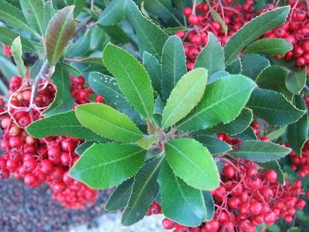 Heteromeles arbutifolia Dscf8812