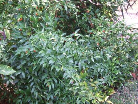 Danae racemosa - laurier d'Alexandrie Dscf8833