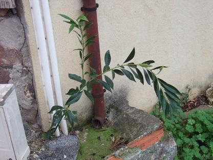 Cocculus laurifolius Dscf8840
