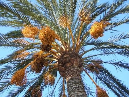 Phoenix dactylifera - palmier dattier Dscf8850