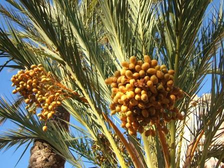 Phoenix dactylifera - palmier dattier Dscf8851