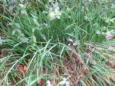 Iris unguicularis - Page 3 Dscf8913