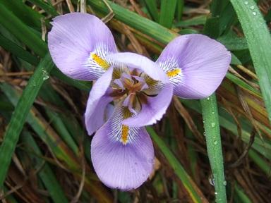 Iris unguicularis - Page 3 Dscf8914