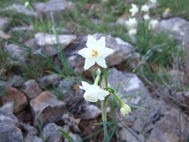 Narcissus dubius - narcisse douteux  Dscf9030
