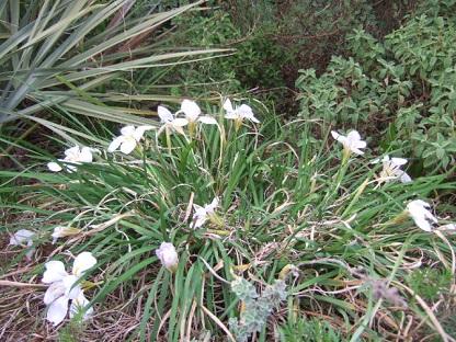 Iris unguicularis - Page 3 Dscf9121