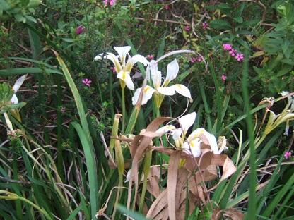 Iris unguicularis - Page 3 Dscf9123
