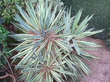 Yucca gloriosa - Page 2 Dscf9128