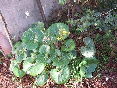 Farfugium japonicum (= Ligularia kaempferi) - Page 3 Dscf9312