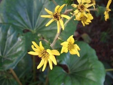 Farfugium japonicum (= Ligularia kaempferi) - Page 3 Dscf9313