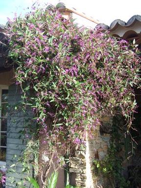 Hardenbergia violacea Dscf9316